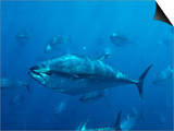 Pacific Bluefin Tuna (Thunnus Thynnus) Schooling, Mexico Art by Richard Herrmann