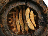 Hollow Chestnut Log Hive Reveals the Details of the Honey Bee Comb Architecture Prints by Eric Tourneret