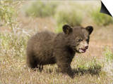Black Bear Cub, Ursus Americanus, North America Prints by Joe McDonald