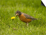 American Robin with an Earthworm in its Bill (Turdus Migratorius), North America Art by Tom Walker