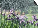 Siberian Iris Garden Flowers in the Rain Poster by David Cavagnaro