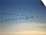 Canada Goose Flying in a V Formation (Branta Canadensis) Posters by Neal Mishler
