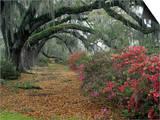 Live Oaks, Quercus Virginiana, and Azaleas, Magnolia Plantation Prints by Adam Jones