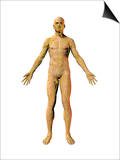 Human Male Figure Showing the Lymphatic System Prints by Carol & Mike Werner
