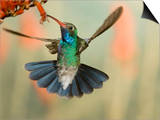 Broad-Billed Hummingbird (Cynanthus Latirostris) Feeding on Nectar, Southwest Arizona, USA Print by Joe McDonald