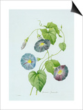 Ipomoea Violacea (Morning Glory) Posters by Pierre-Joseph Redouté