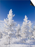 Snow Covered Trees in Urho Kehkkosen National Park in Northern Finland Print by Ashley Cooper