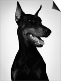 Doberman Posters by Alex Cayley