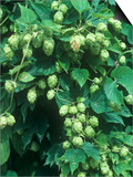 Hops, Humulus Lupulus, Cones Commonly Used in Brewing Beer Print by John D. Cunningham