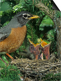 American Robin at its Nest with Two Baby Birds, Turdus Migratorius, . North America Prints by John & Barbara Gerlach