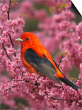 A Male Scarlet Tanager, Piranga Olivacea, in a Flowering Redbud Tree, Eastern USA Prints by Adam Jones