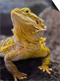 Bearded Dragon, Pogona Vitticeps, Captive Posters by Adam Jones