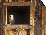 Barn Owl (Tyto Alba) in Barn Window, a Threatened Species, North America Prints by Tom Walker