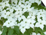 Oriental Dogwood Tree in Bloom (Cornus Kousa) Art by  Scientifica