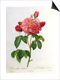 Rosa Gallica Aurelianensis Prints by Pierre-Joseph Redouté