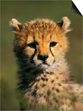 Cheetah Cub, Acinonyx Jubatus, Masai Mara Game Reserve, Kenya Posters by Adam Jones