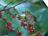 Swainson's Thrush (Catharus Ustulatus) Eating a Spicebush Berry, North America Poster by Steve Maslowski