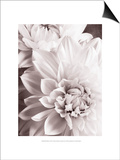 Black and White Dahlias II Prints by Christine Zalewski