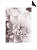 Black and White Dahlias II Prints by Christine Zalewski