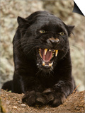 Black Panther (Panthera Onca), Melanistic Morph, Growling and Snarling, Captivity Posters by Joe McDonald