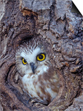 Northern Saw-Whet Owl in a Tree Hollow (Aegolius Acadius), North America Posters by Tom Ulrich