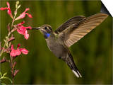 Blue-Throated Hummingbird Male (Lampornis Clemenciae) Feeding at an Autumn Sage Flower Prints by Charles Melton