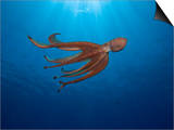 Day Octopus Swimming (Octopus Cyanea), Hawaii, USA Posters by David Fleetham