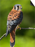 Male American Kestrel (Falco Sparverius), USA Posters by Adam Jones