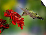 Female Ruby-Throated Hummingbird Feeding on Flower, Louisville, Kentucky Art by Adam Jones