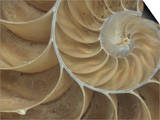 Details of a Sectioned Chambered Nautilus Shell (Nautilus), South Pacific Ocean Posters by Mark Schneider
