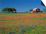 Texas Paintbrush and Texas Bluebonnets Flowering in a Meadow or Pasture Near a Red Barn Posters by Adam Jones