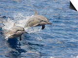 Two Spinner Dolphins (Stenella Longirostris) Leaping into the Air at the Same Time, Hawaii, USA Prints by David Fleetham