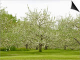 Flowering Apple Orchard in the Spring (Malus), New Hampshire, USA Posters