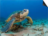 Green Sea Turtle (Chelonia Mydas), an Endangered Species, Hawaii, USA Prints by David Fleetham
