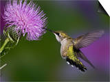 Ruby-Throated Hummingbird in Flight at Thistle Flower, Archilochus Colubris Prints by Adam Jones