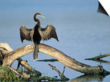 Anhinga (Anhinga Anhinga) Drying its Wings, Ding Darling National Wildlife Refuge, Florida, USA Prints by Adam Jones