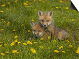Red Fox Cubs Playing in a Field of Dandelions, Vulpes Vulpes, North America Print by Jack Michanowski