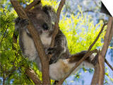 Koala Resting in a Tree (Phascolarctos Cinereus), Australia Art by David Fleetham