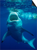 Great White Shark, Carcharodon Carcharias, Mexico, Pacific Ocean, Guadalupe Prints by Reinhard Dirscherl