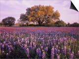 Field of Texas Paintbrush and Texas Bluebonnet Wildflowers and a Live Oak Tree Poster by Adam Jones