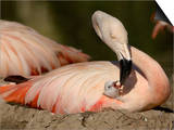 Chilean Flamingo (Phoenicopterus Chilensis) Adult Feeding a Chick on the Nest, Captive Prints by Dave Watts