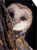 Barn Owl Face Peering from Behind a Tree Trunk, Tyto Alba, a Threatened Species, North America Prints by Joe McDonald