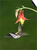 Female Ruby-Throated Hummingbird, Archilochus Colubris, Feeding at a Columbine Flower, Aquilegia Prints by Gustav W. Verderber