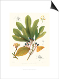 Non-embellished Antique Sassafras Prints by  Sprague