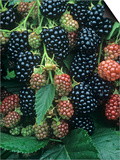 Ripe and Ripening Blackberries Thorn Free Variety, Rubus, North America Prints by David Cavagnaro