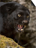 Leopard or Black Panther (Panthera Pardus) Prints by Joe McDonald