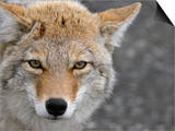 Coyote (Canis Latrans) Posters by Tom Walker