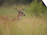 White-Tailed Deer (Odocoileus Virginianus) Grazing, Texas, USA Prints by Jack Milchanowski
