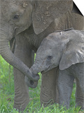 African Elephant Mother Holding its Baby's Trunk, Loxodonta Africana, East Africa Prints by Arthur Morris