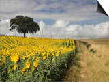 Field of Sunflowers with Holm Oaks Art by Felipe Rodriguez